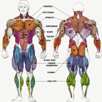 anatomie des groupes musculaire du corps humain