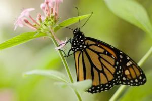 monarch flower2