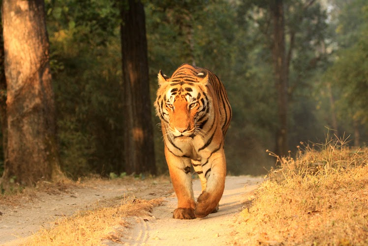Photographing a tiger in Kanha National Park
