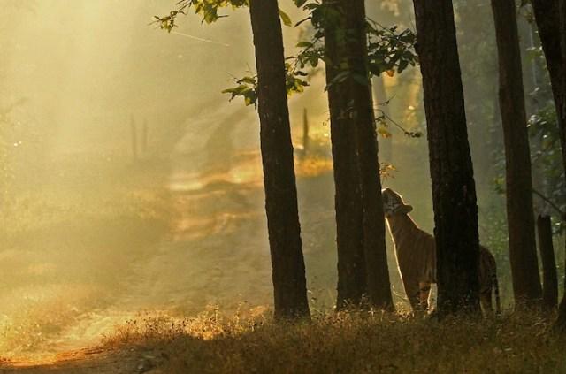 Tiger Sighting in Kanha National Park