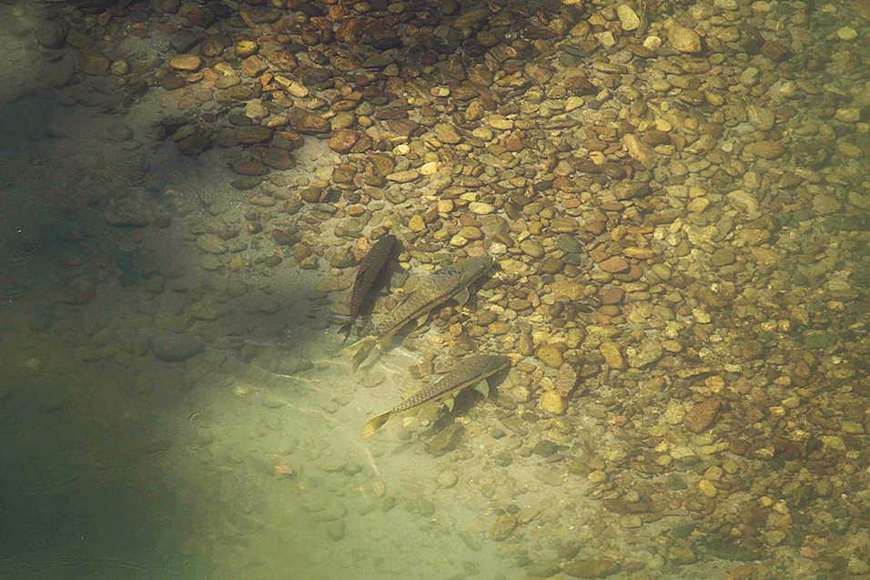 Golden Mahseer fly fishing