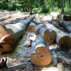 Parcul Natural Apuseni,   devastat de hoţii de lemne