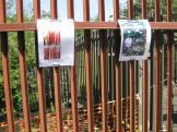 Giant Hogweed Dangers