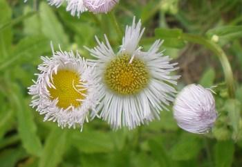 Fleabane flower Tudek