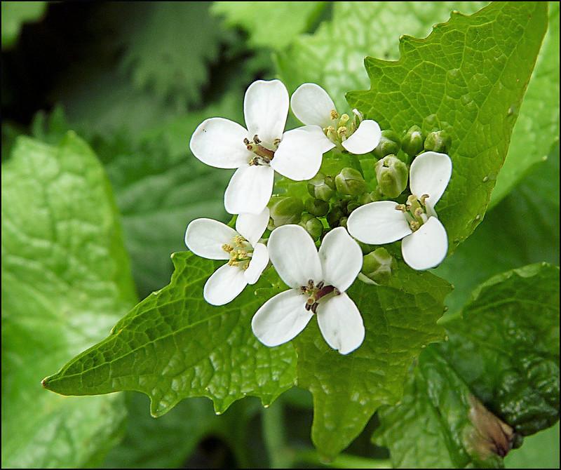 white garlic mustard flowers