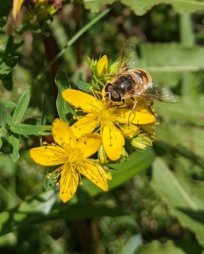 Flies are true unsung pollinator heroes.