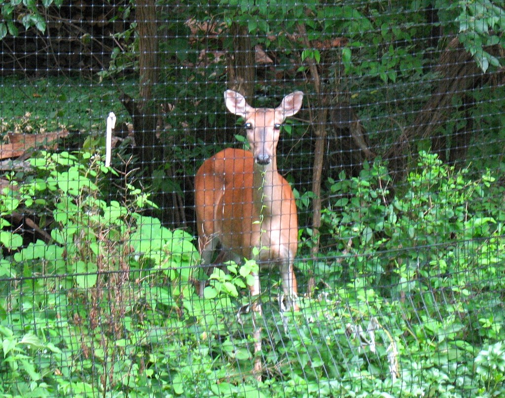 deer staring through a deer fence