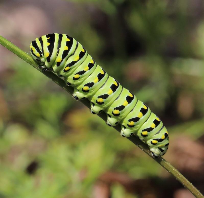 green, black and yellow Black swallowtail caterpillar on green stem