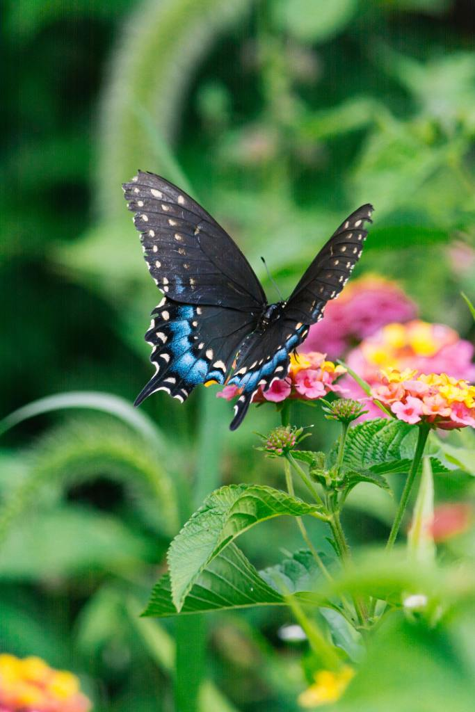 black Spicebush swallowtail butterfly on pink and yellow flower