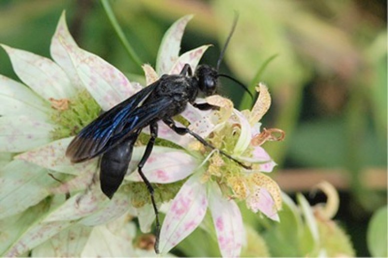 Great Black Wasp on white and pink flower