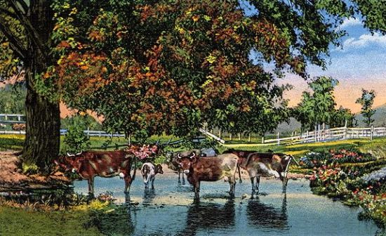 Cow Stream Postcard