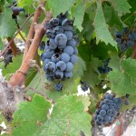 Grapes of Wrath: Travails of a Produce Farmer in Wine Country
