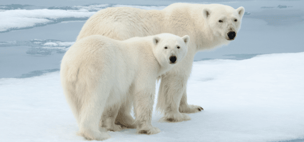 AI and Drones Can Help to Save Polar Bears  IEEE Transmitter