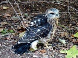 Mississippi Kite (Juvenile)