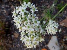 Garlic Chives (Allium tuberosum)