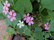 Pink Wood Sorrel (Oxalis crassipes 'Rosea')