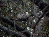 Inca Doves (Columbina inca)