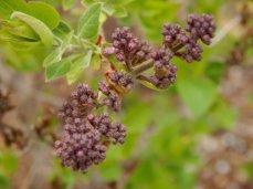 Lilac (Syringa) Buds