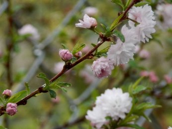 Pink Flowering Almond Bush (Prunus glandulosa)