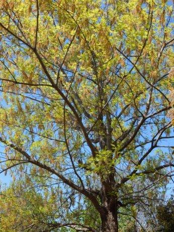 Shumard Oak (Quercus shumardii) April 1, 2015