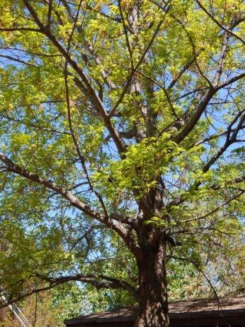 Shumard Oak (Quercus shumardii) April 4, 2015