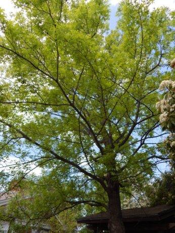 Shumard Oak (Quercus shumardii) April 7, 2015