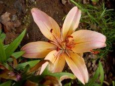 Asiatic Lily (Lilium asiatic)