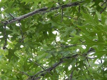 Shumard Oak (Quercus shumardii) Leaves