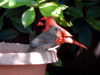 Northern Cardinal (Cardinalis cardinalis) Male and Juvenile