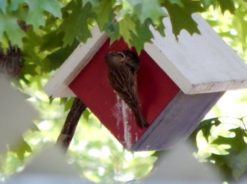 House Sparrows (Passer domesticus)