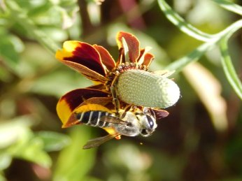 Leaf Cutting Bee (Megachilidae)