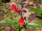 Autumn Sage 'Radio Red' (Salvia greggii 'Radio Red'