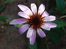 Coneflower (Echinacea purpurea)
