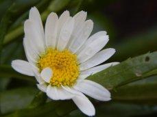 Shasta Daisy 'Silver Princess' (Leucanthemum x superbum 'Silver Princess')