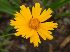 Common Coreopsis (Coreopsis grandiflora)