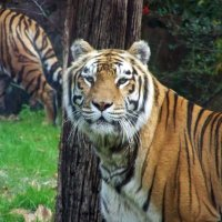 Animal Kingdom: Tigers, and Lions, and So Much More