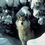 Feds Cut Animal Damage Control Programs