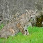 Bobcat Recovery and Trapping Opportunity in Illinois, Indiana