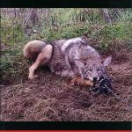 The Black Book of Coyote Trapping – Kellen Kaatz