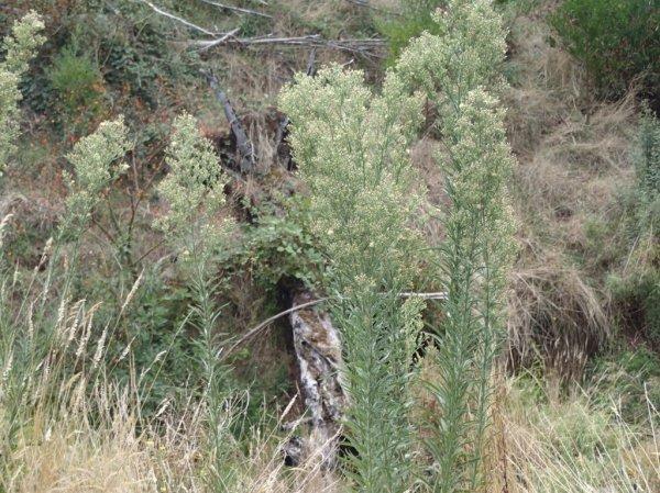 Conzya sumatrensis - Tall Fleabane
