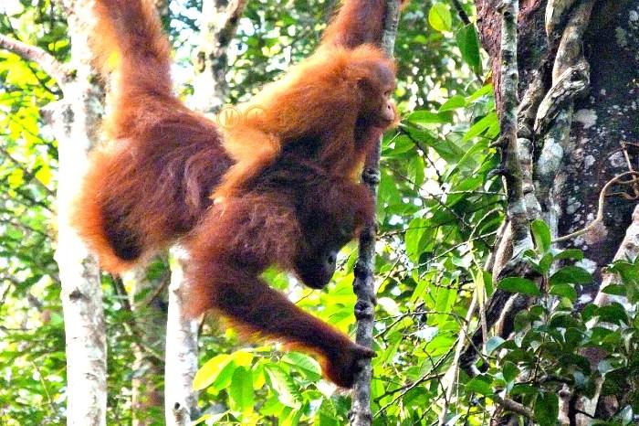 Orangutana con su cría en Semmengoh