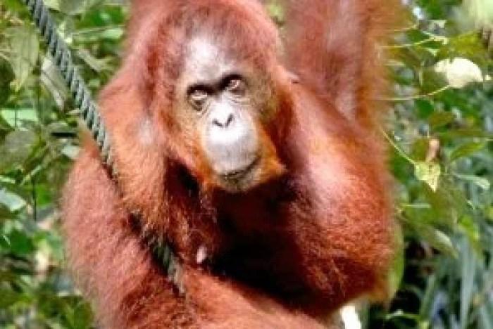 Orangutana en Borneo, Malasia