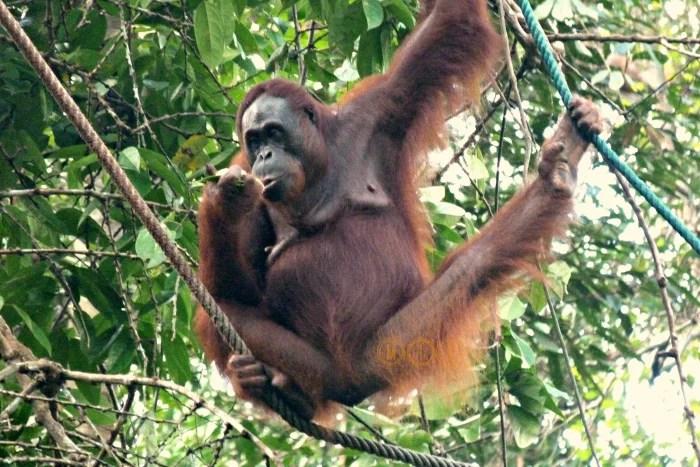 Orangutana, Borneo