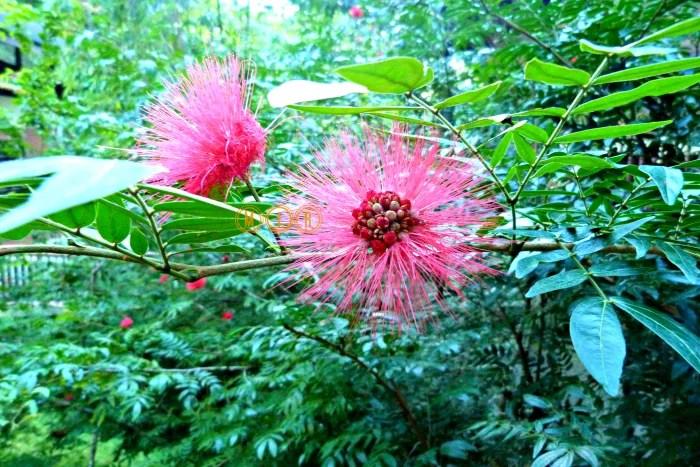 Plantas ornamentales de Borneo