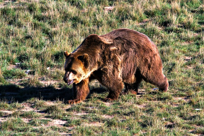 Yellowstone oso grizzly