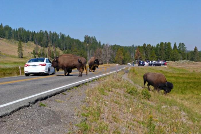 Bisontes en el Parque Nacional Yellowstone