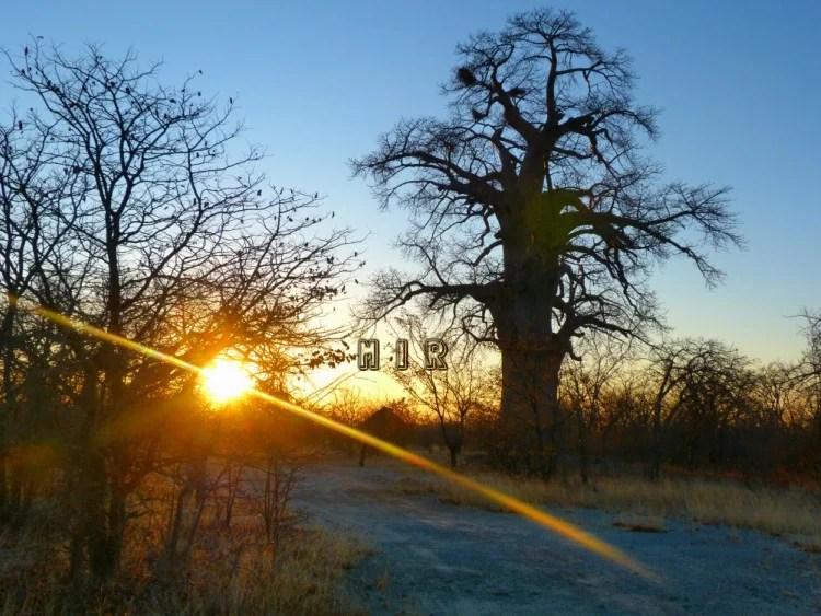 Baobab a la entrada de Gweta, Botswana