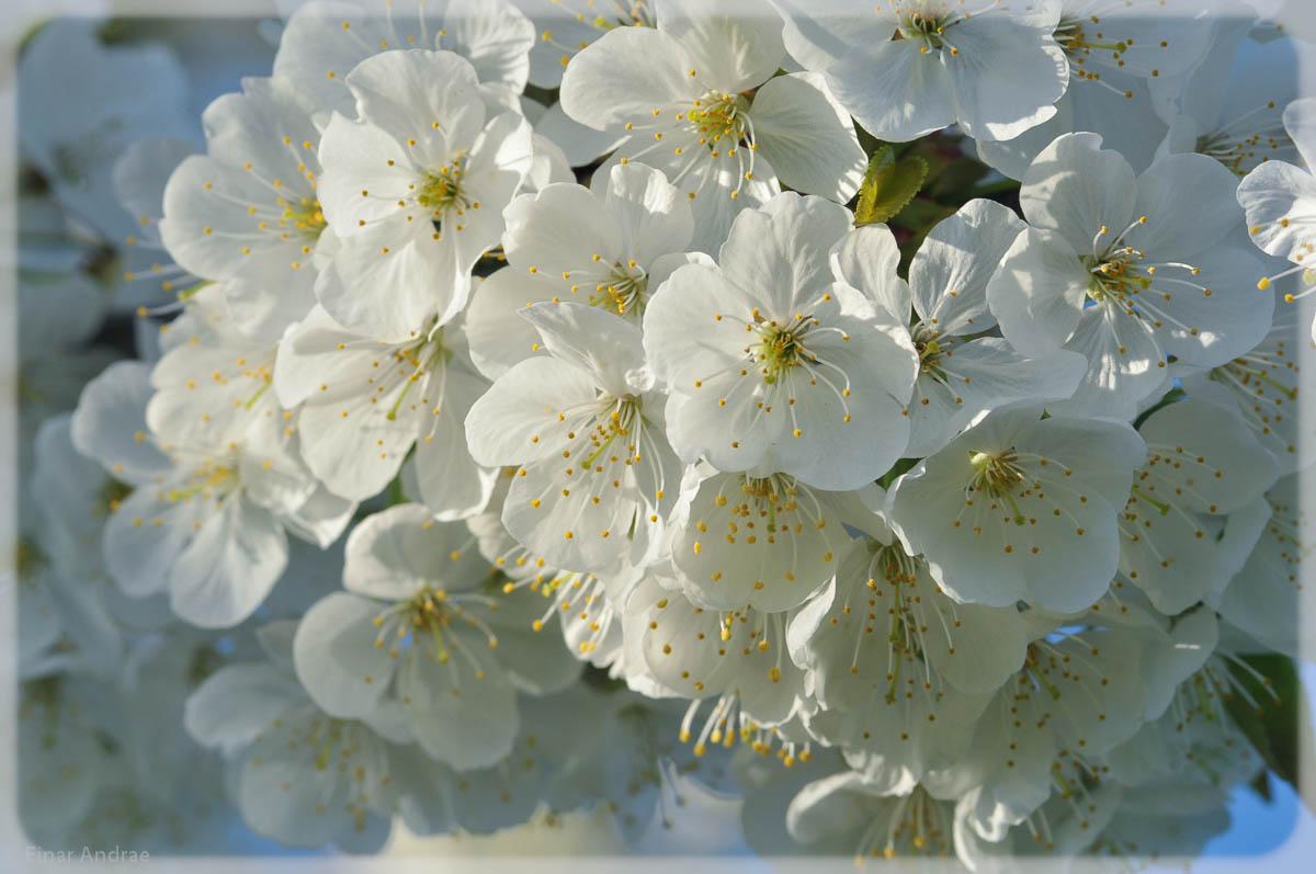 Kirschblten  Traumzeitmomente