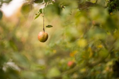 Single-Ripe-Apple-Hanging-from-A-Tree-Ready-For-Picking1