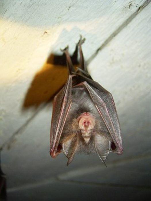 Fledermuse  BUND Naturschutz